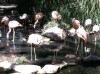 Flamingos_at_Tucson_Zoo